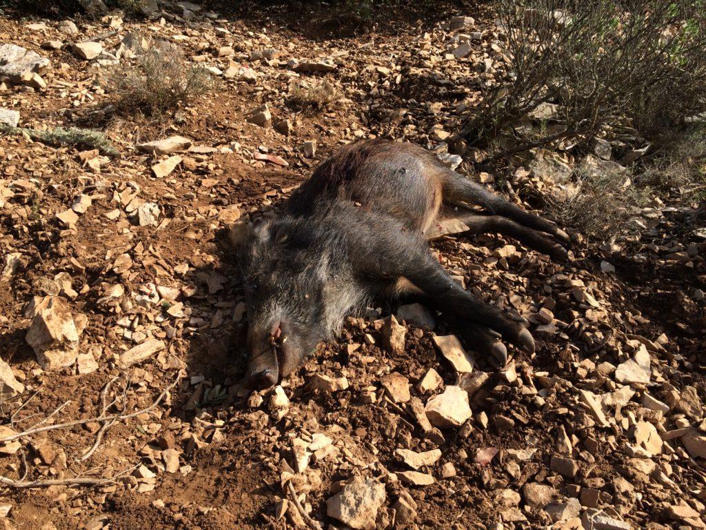 sanglier mort de la peste porcine
